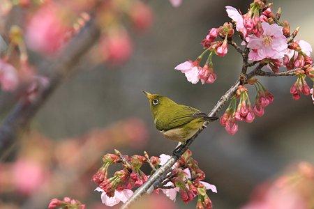 2010.03.18 和泉川 さくらにメジロ-2