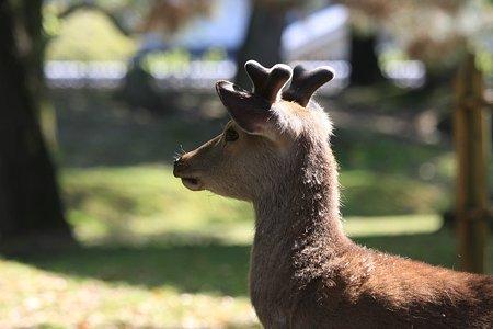 2010.04.28 奈良公園 鹿