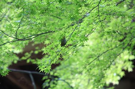 2010.04.30 清水寺 紅葉にメジロ