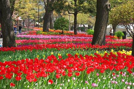 2011.04.15 横浜公園 チューリップまつり-1