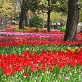 Photos: 2011.04.15 横浜公園 チューリップまつり-1