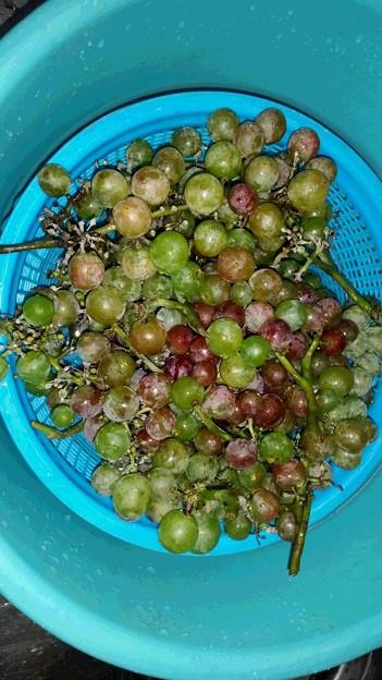 ブドウの収穫