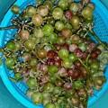 Photos: ブドウの収穫
