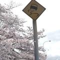 写真: 桜満開、クルマも踊る。
