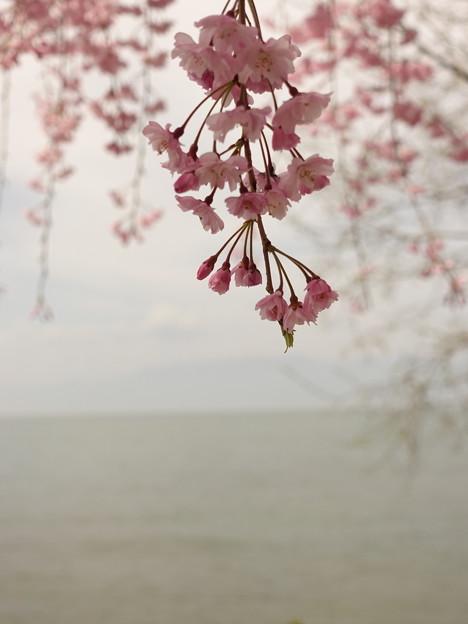 桜、霞むびわ湖