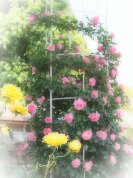 幸せの黄色いバラ