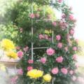 Photos: 幸せの黄色いバラ