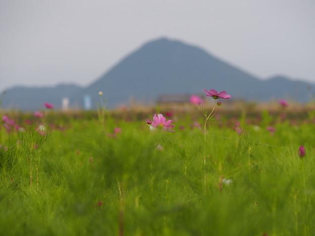 写真: コスモスと近江富士