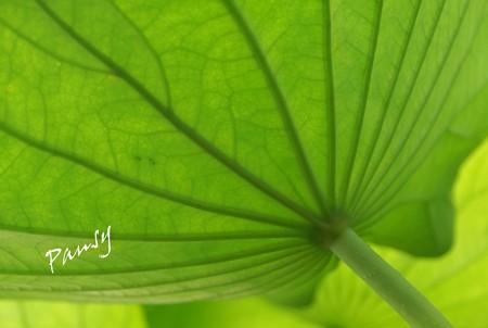 蓮の葉・・