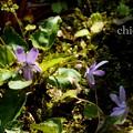 写真: 菫。。