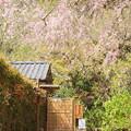 桜と猫のいる風景。。