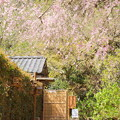 写真: 桜と猫のいる風景。。