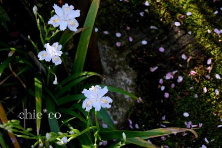 胡蝶花(しゃが)。。