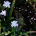 写真: 胡蝶花(しゃが)。。