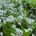 写真: 卯の花。。