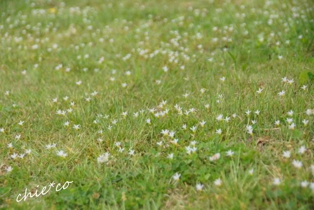 写真: 群れ咲く庭石菖(にわぜきしょう)。。