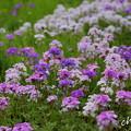 写真: 花菜ガーデン-250