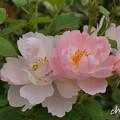 写真: 花菜ガーデン-265