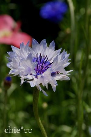 くりはま花の国-279