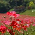 写真: くりはま花の国-280
