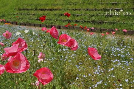 くりはま花の国-299