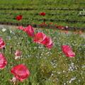 写真: くりはま花の国-299