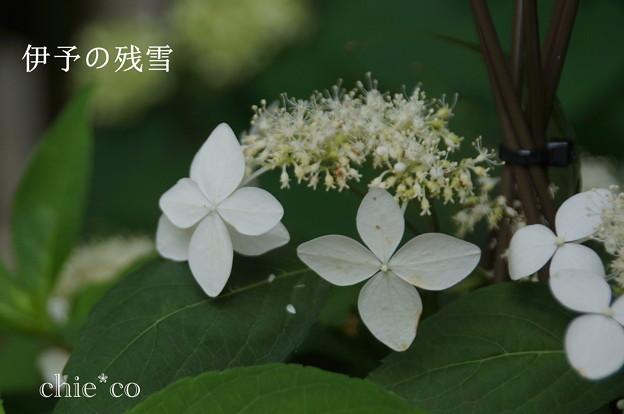 写真: 瀬戸神社~山あじさい-388