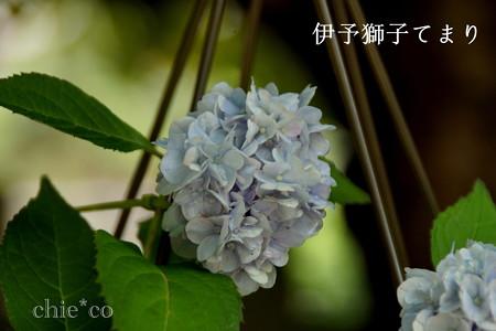 瀬戸神社~山あじさい-390