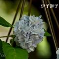 写真: 瀬戸神社~山あじさい-390
