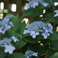 写真: 瀬戸神社~山あじさい-391