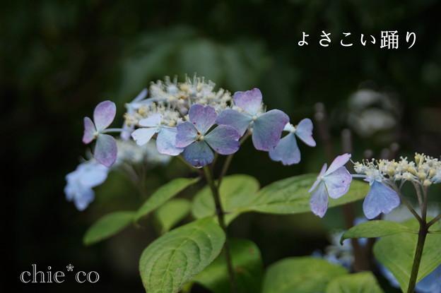 瀬戸神社~山あじさい-401