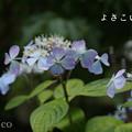 写真: 瀬戸神社~山あじさい-401