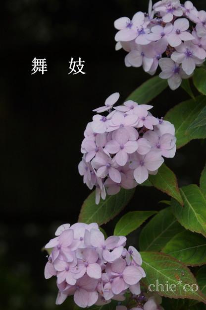 瀬戸神社~山あじさい-404
