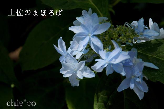 写真: 瀬戸神社~山あじさい-408
