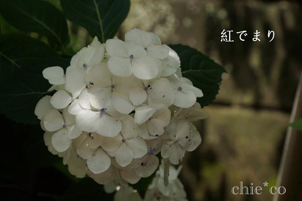 瀬戸神社~山あじさい-409