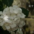 写真: 瀬戸神社~山あじさい-409