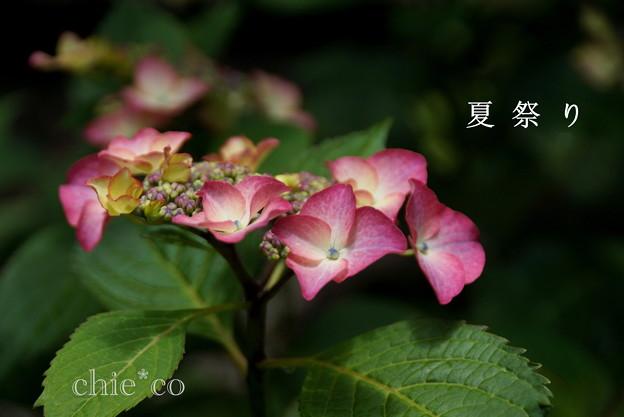 写真: 瀬戸神社~山あじさい-413