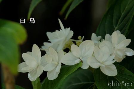 瀬戸神社~山あじさい-420