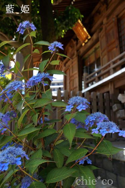 写真: 瀬戸神社~山あじさい-423