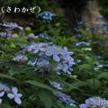 写真: 瀬戸神社~山あじさい-439