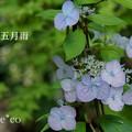 写真: 瀬戸神社~山あじさい-442
