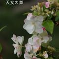 写真: 瀬戸神社~山あじさい-448