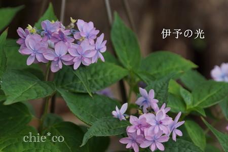 瀬戸神社~山あじさい-455