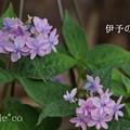 写真: 瀬戸神社~山あじさい-455