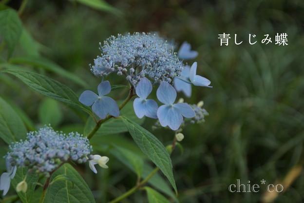 写真: 瀬戸神社~山あじさい-456