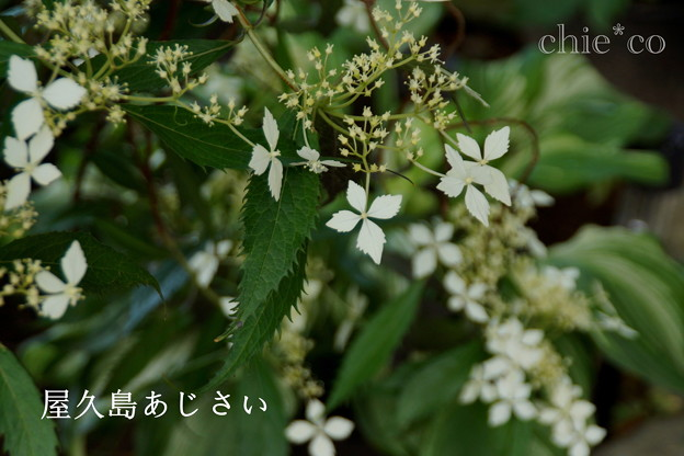 瀬戸神社~山あじさい-459