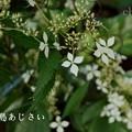 写真: 瀬戸神社~山あじさい-459