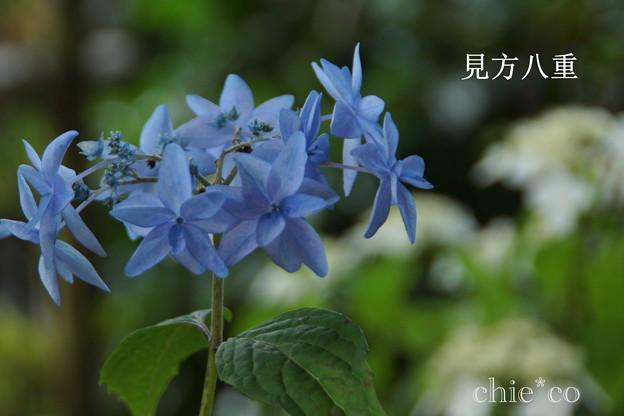 写真: 瀬戸神社~山あじさい-460