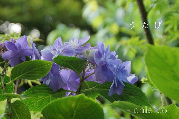 写真: 瀬戸神社~山あじさい-462