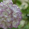写真: 瀬戸神社~山あじさい-475